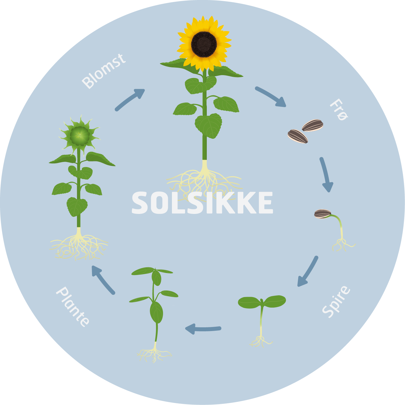 solsikken-solsikke-cyklus-plante-mutedesign